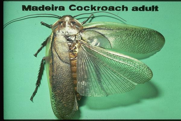 Madeira Cockroach