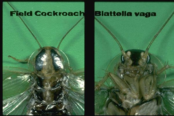 Field Cockroach