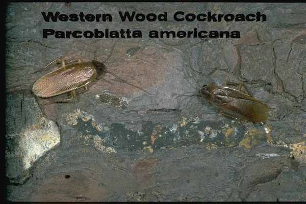 Wood Cockroaches