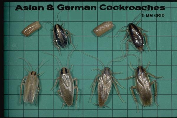 Asian Cockroach