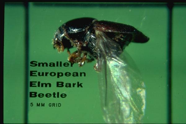 Smaller European elm bark beetle