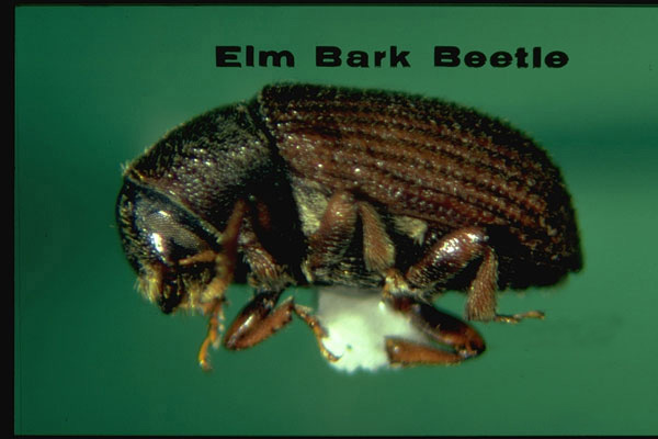 Native elm bark beetle