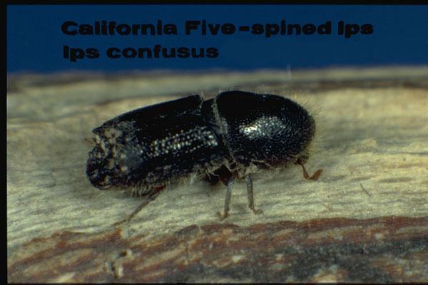 Engraver beetle