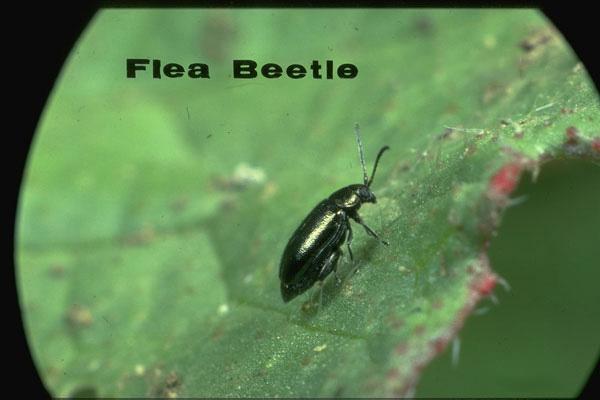 Dichondra flea beetle