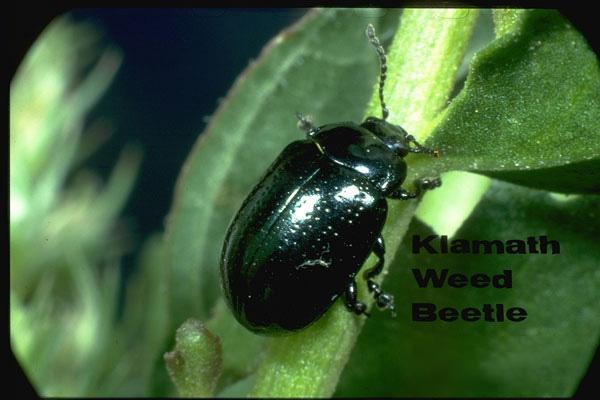 Klamath weed beetle