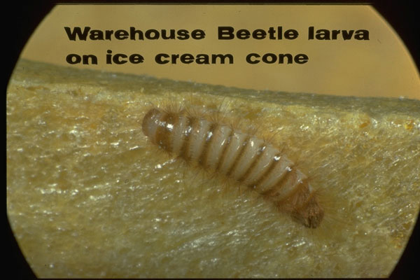 Warehouse Beetle