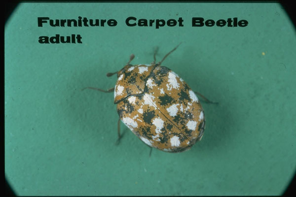 Furniture Carpet Beetle