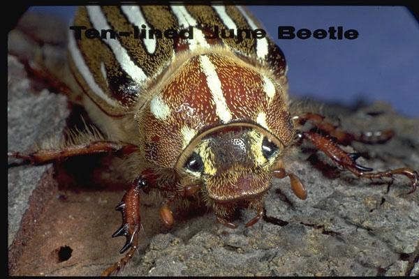 Lined June beetles