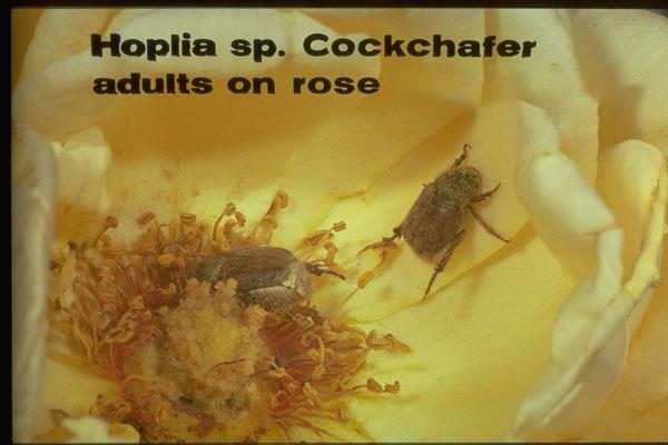 Hoplia beetle