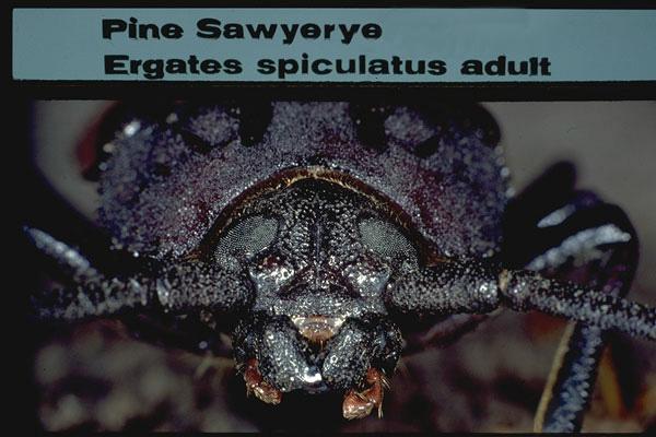 Pine Sawyer