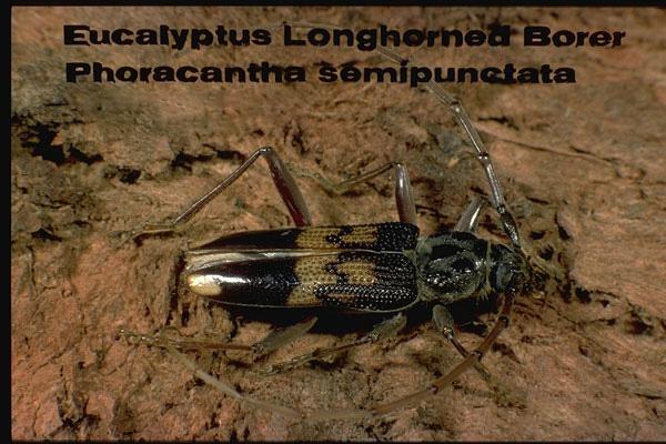 Eucalyptus longhorn