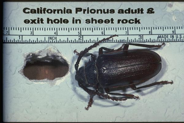 Western Pine Beetle