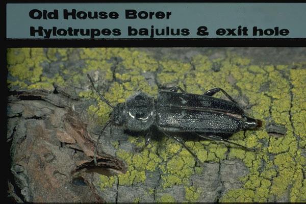Old House Borer