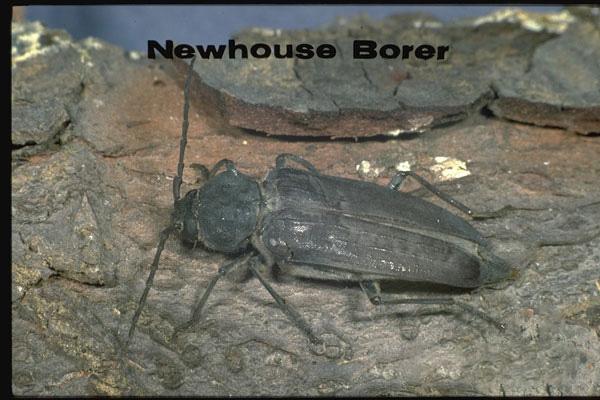 New House Borer