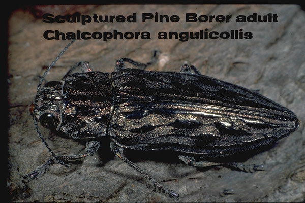 Sculptured pine beetle