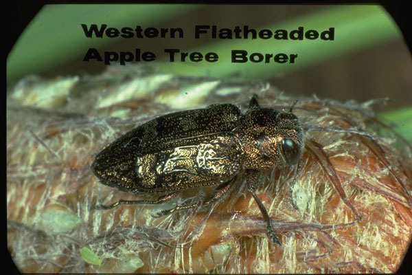 Apple tree borer