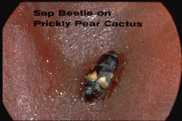 Dried Fruit Beetle