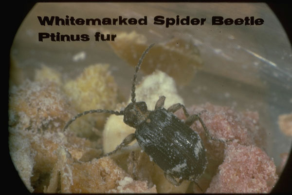 Whitemarked Spider Beetle