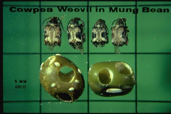 Cowpea Weevil