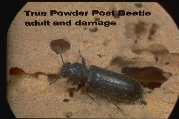 True Powderpost Beetles