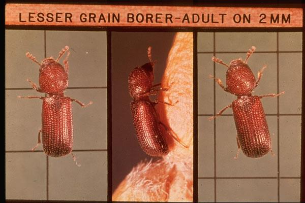 Lesser Grain Borer