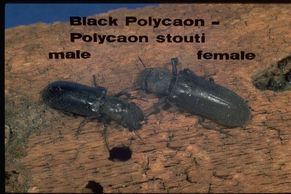 Black Polycaon