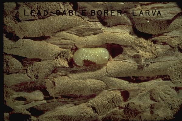 Lead Cable Borer