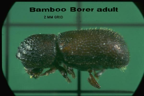 Bamboo Borer