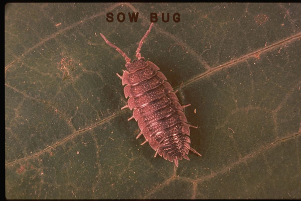 Sowbug or Woodlouse