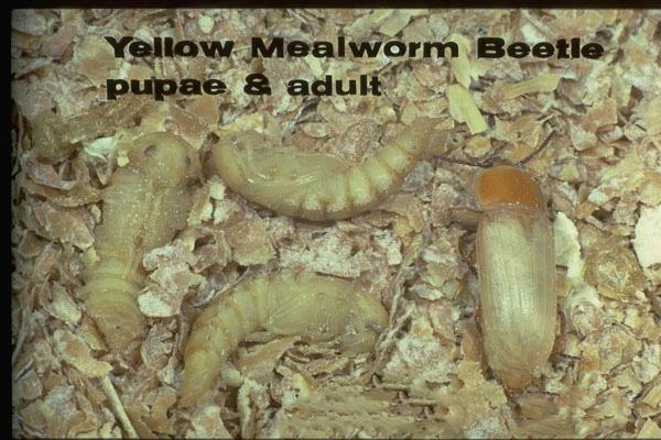 Yellow Mealworm