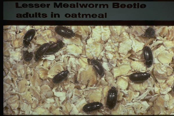 Lesser Mealworm
