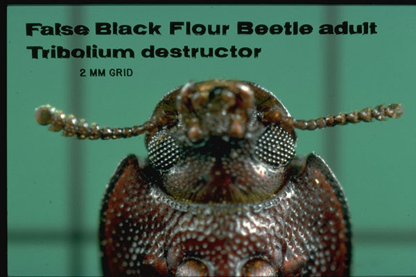 False Black Flour Beetle