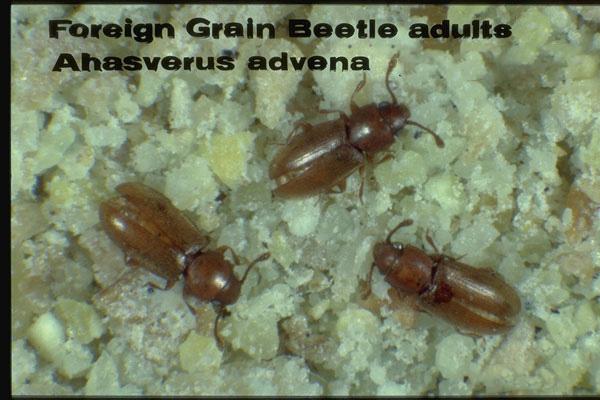 Foreign Grain Beetle