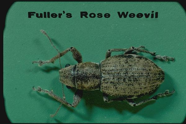 Fuller rose weevil
