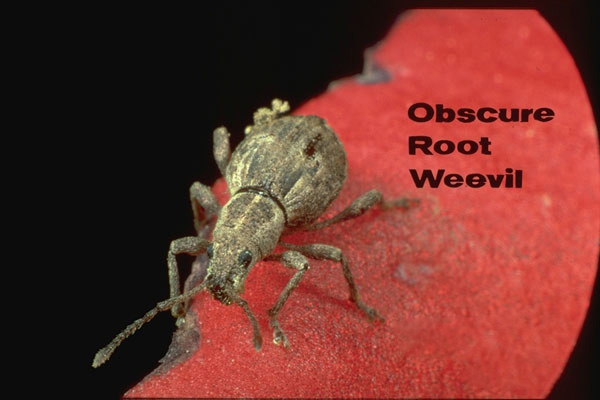 Obscure root weevil