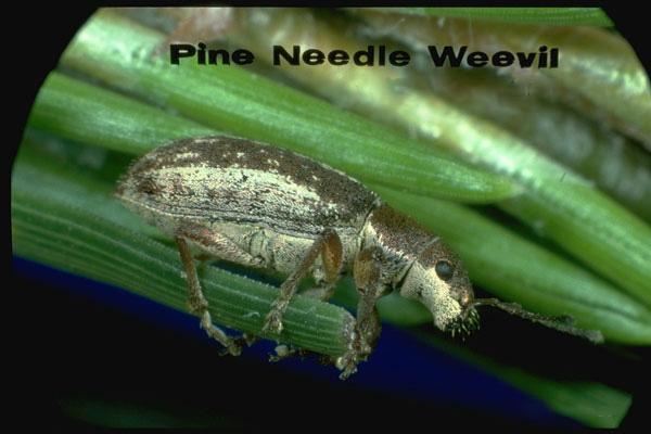 Pine needle weevil