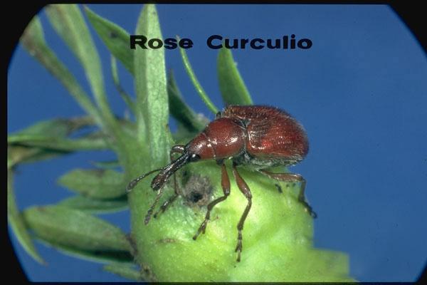 Rose curculio