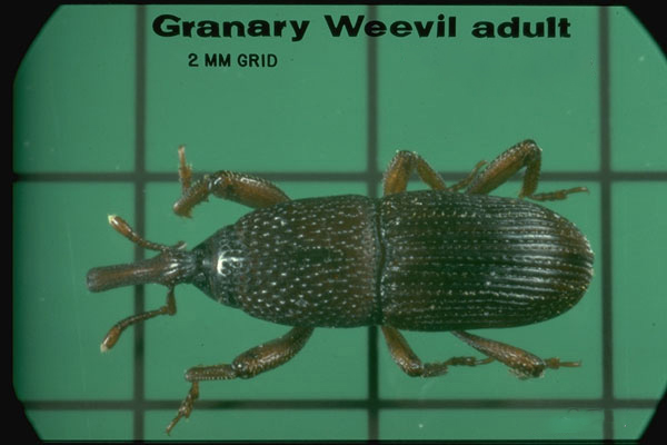 Granary Weevil