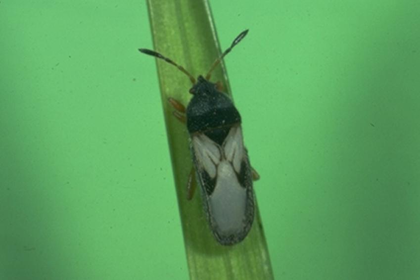 Cinch Bug