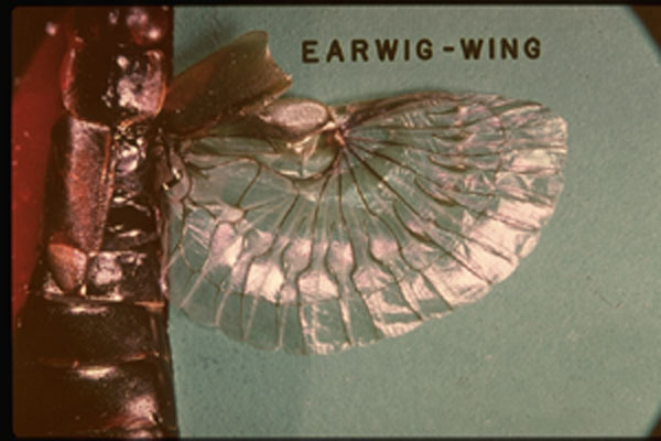 European Earwig