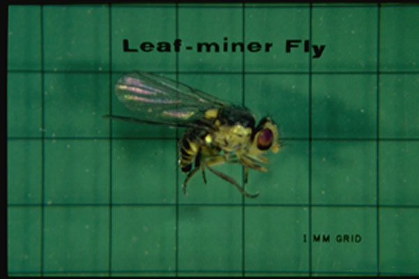 Leaf Miner Flies