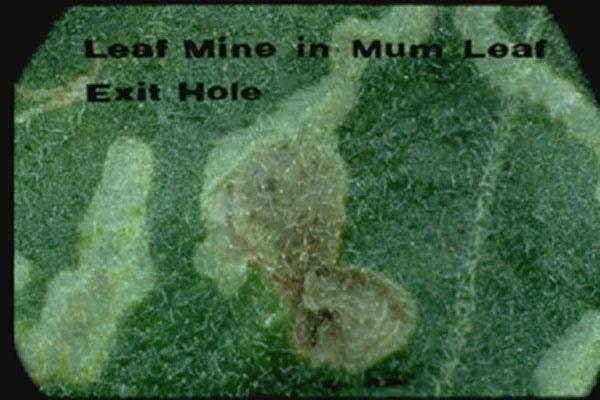 Leafminer Flies
