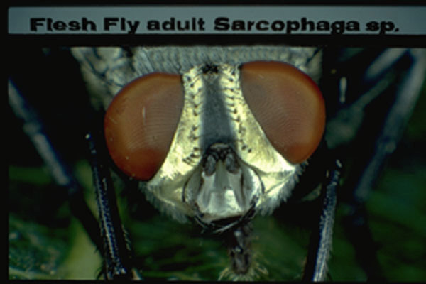 Flesh Flies