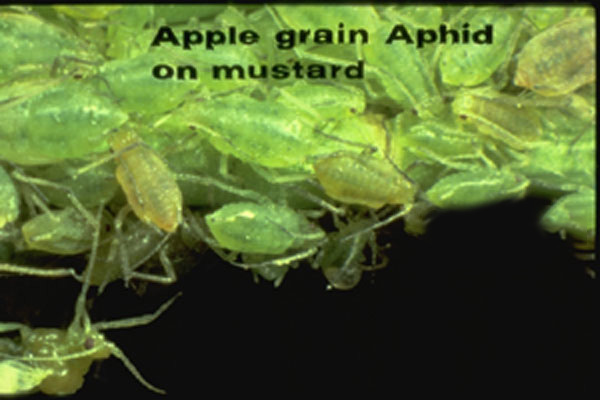 Apple Grain Aphid