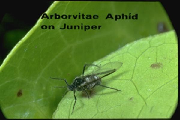 Arborvitae Aphid