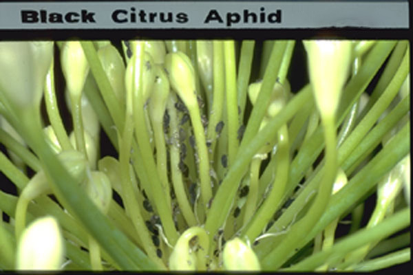 Black Citrus Aphid