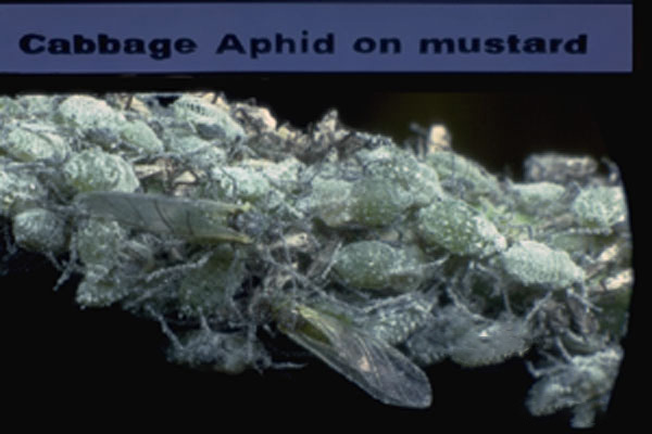Cabbage Aphid