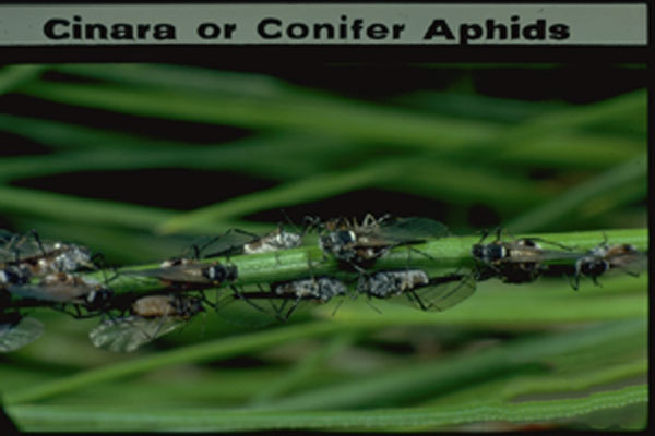 Conifer Aphid