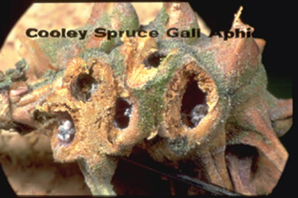 Cooley Spruce Gall Aphid