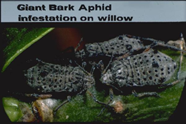 Giant Bark Aphid